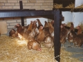 Ketteholms hønselaug 02