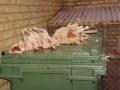 Ketteholms hønselaug 15